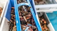 L'extraction de chair de homard par procédé innovant haute pression dans l'entreprise 5 Degrés Ouest à Riec-sur-Belon : une innovation dans l'agroalimentaire, l'un des sept domaines identifiés par la Région. Copyright: Franck-Betermin
